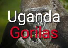 Uganda Gorila